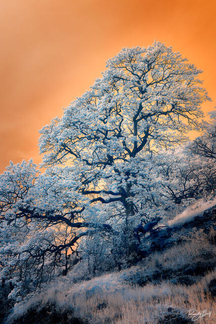 infrared oak tree in the Columbia gorge