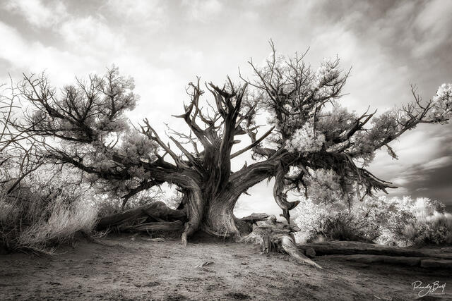 black and white infrared of a lone tree in Arches National park in Utah.