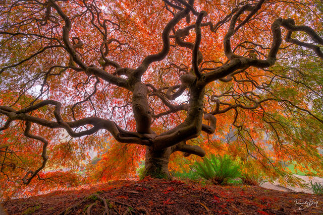 Japanese maple in Kubota Gardens in seattle