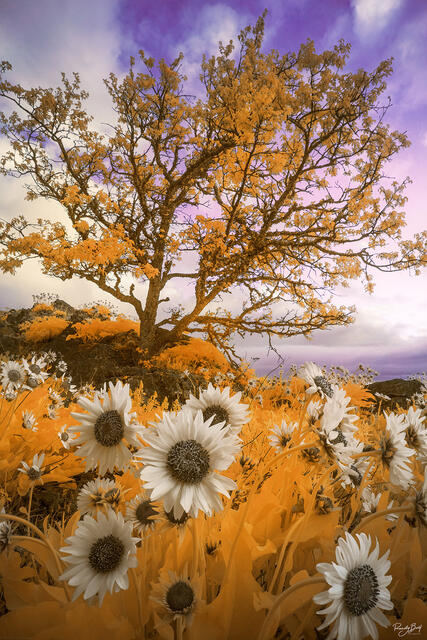 super color infrared from Rowena Crest with balsam root flowers