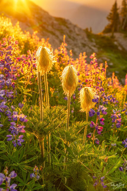western anemones glowing in the gold light of sunset.