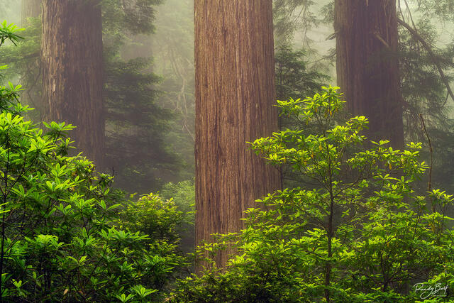 Three trees standing watch in the redwoods national and state parks at Damnation Creek trail.