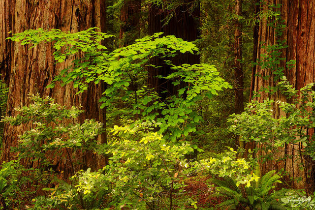 green plants amongs the redwood trees in Stout Grove in Jedediah Smith State Park.