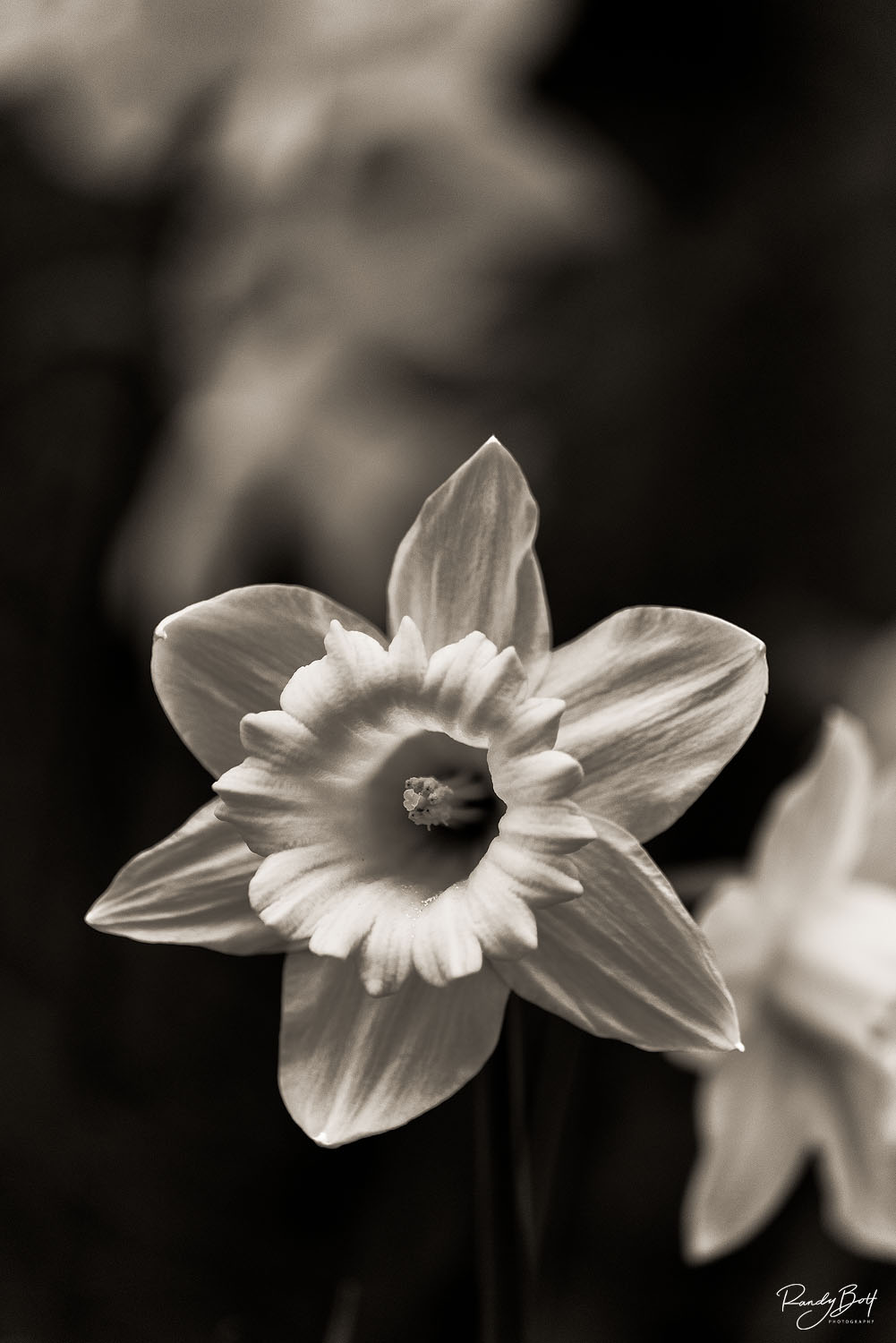 black and white daffodils in the Seattle arboretum