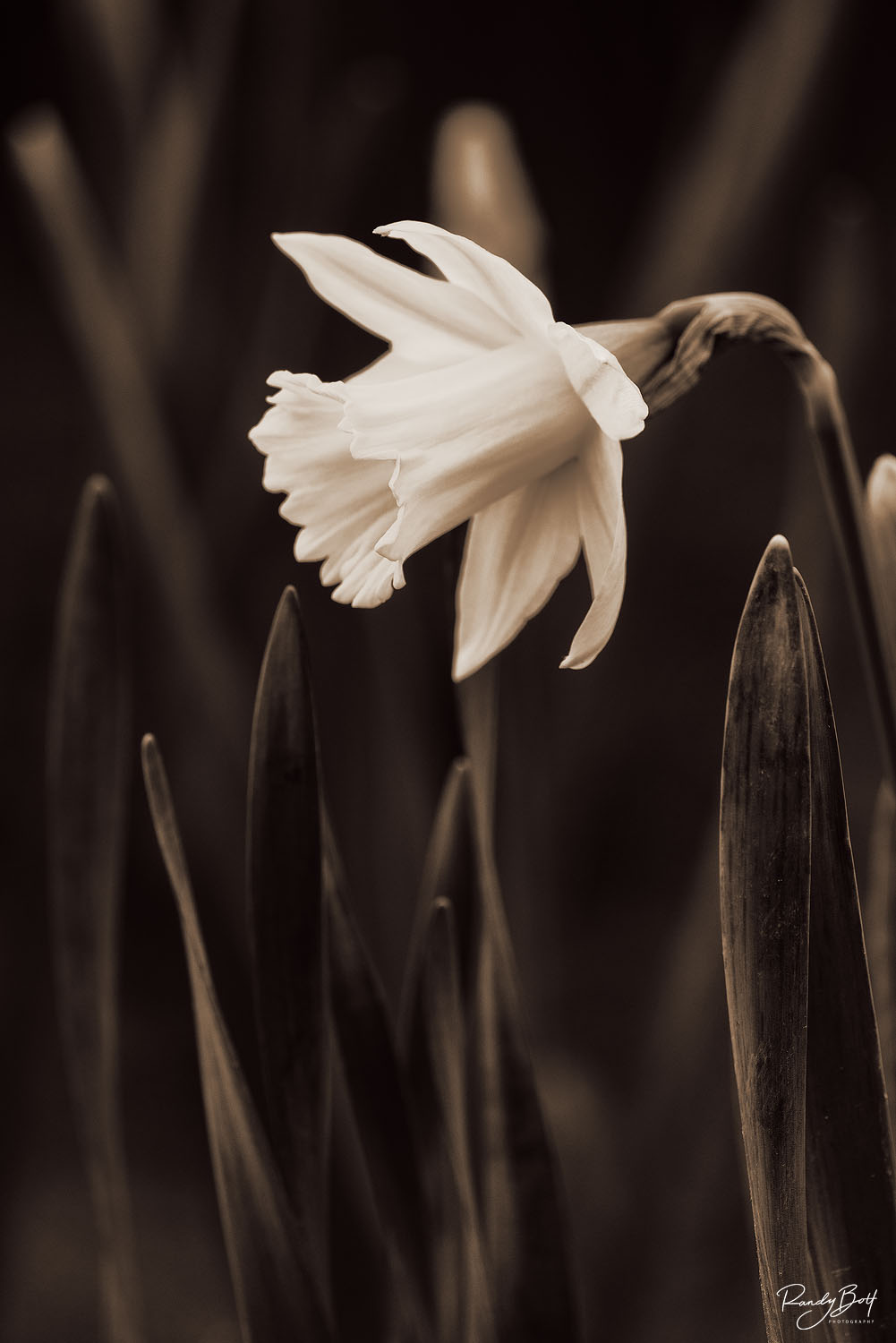 daffodil in black and white from Seattle Arboretum