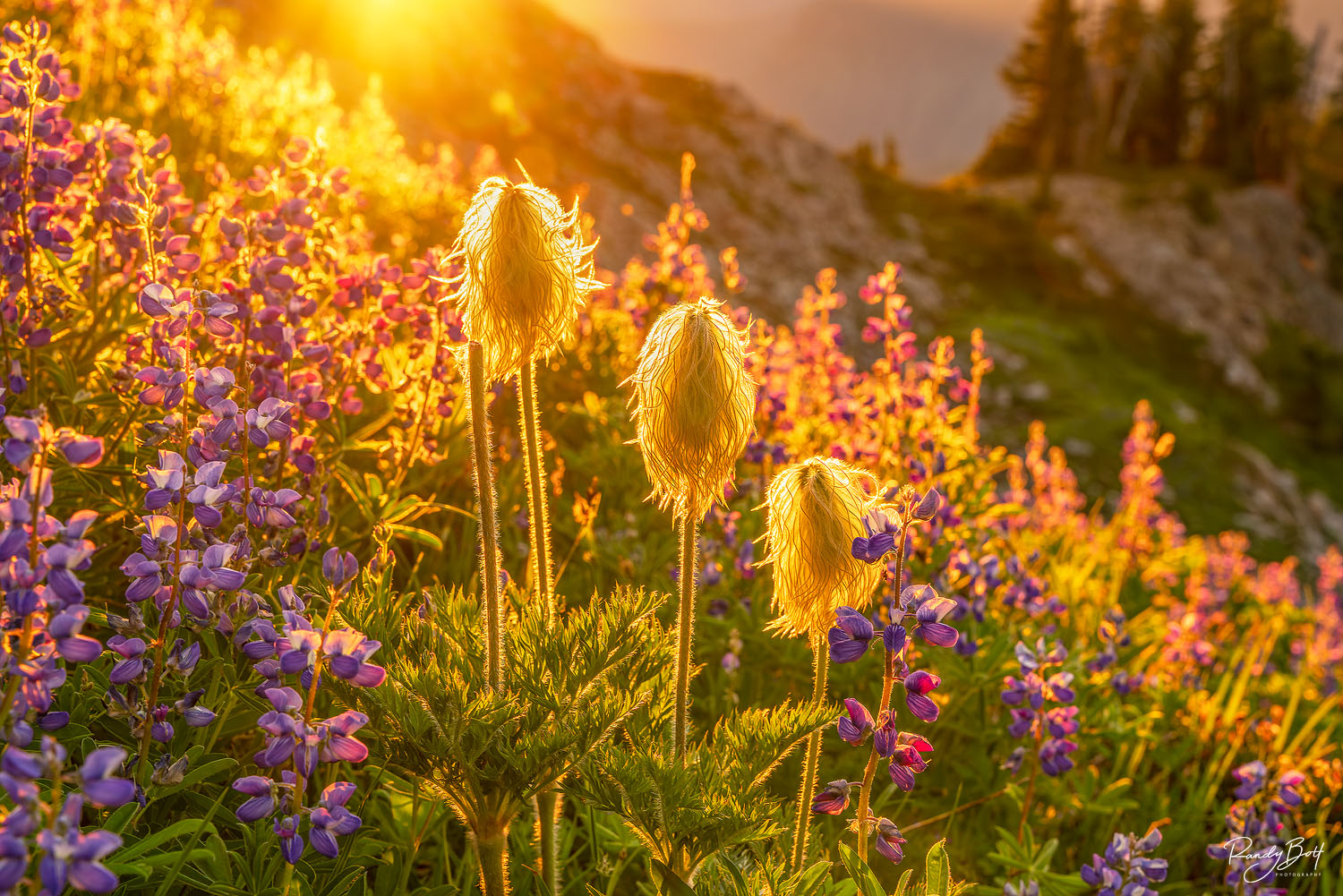 western anemone glowing the sunlight at sunset in mount rainier national park.