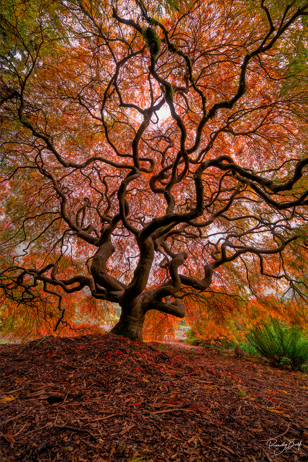 japanese maple in fall color at Kubota garden