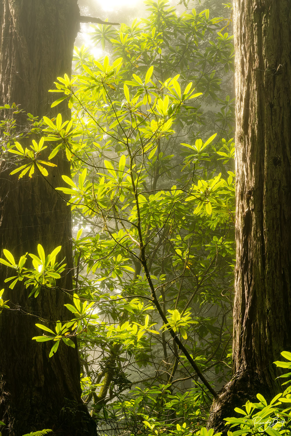 sunlight filtering through the fog in the redwood national and state parks in Northern California