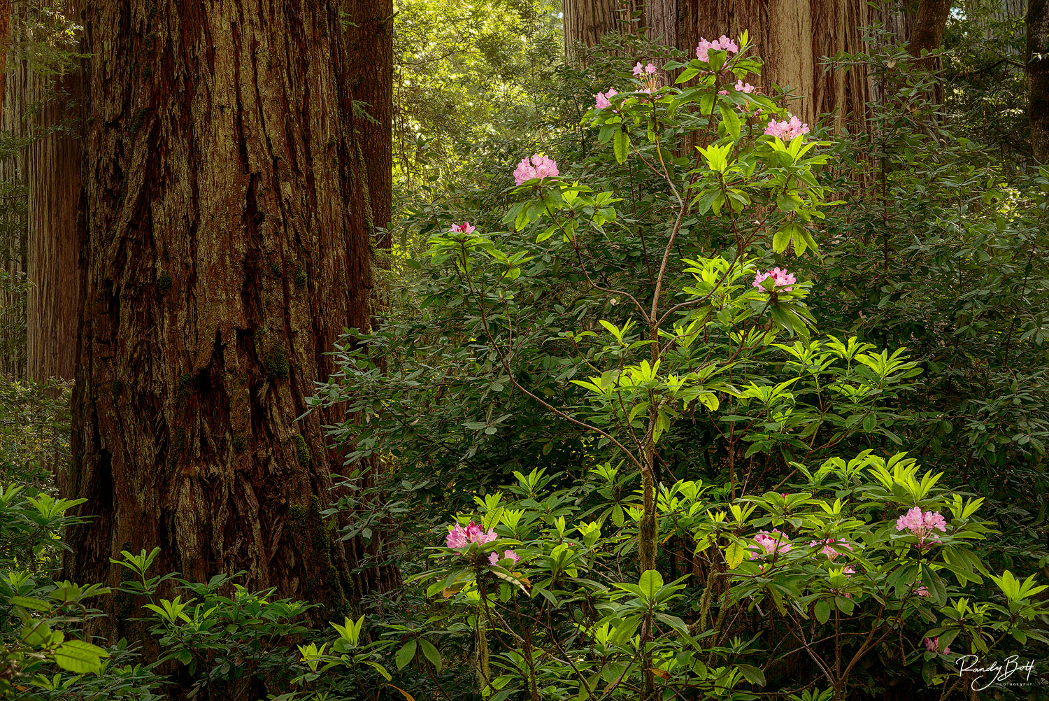 redwood trees and rhododendron flowers blooming in Jedediah Smith redwood grove.
