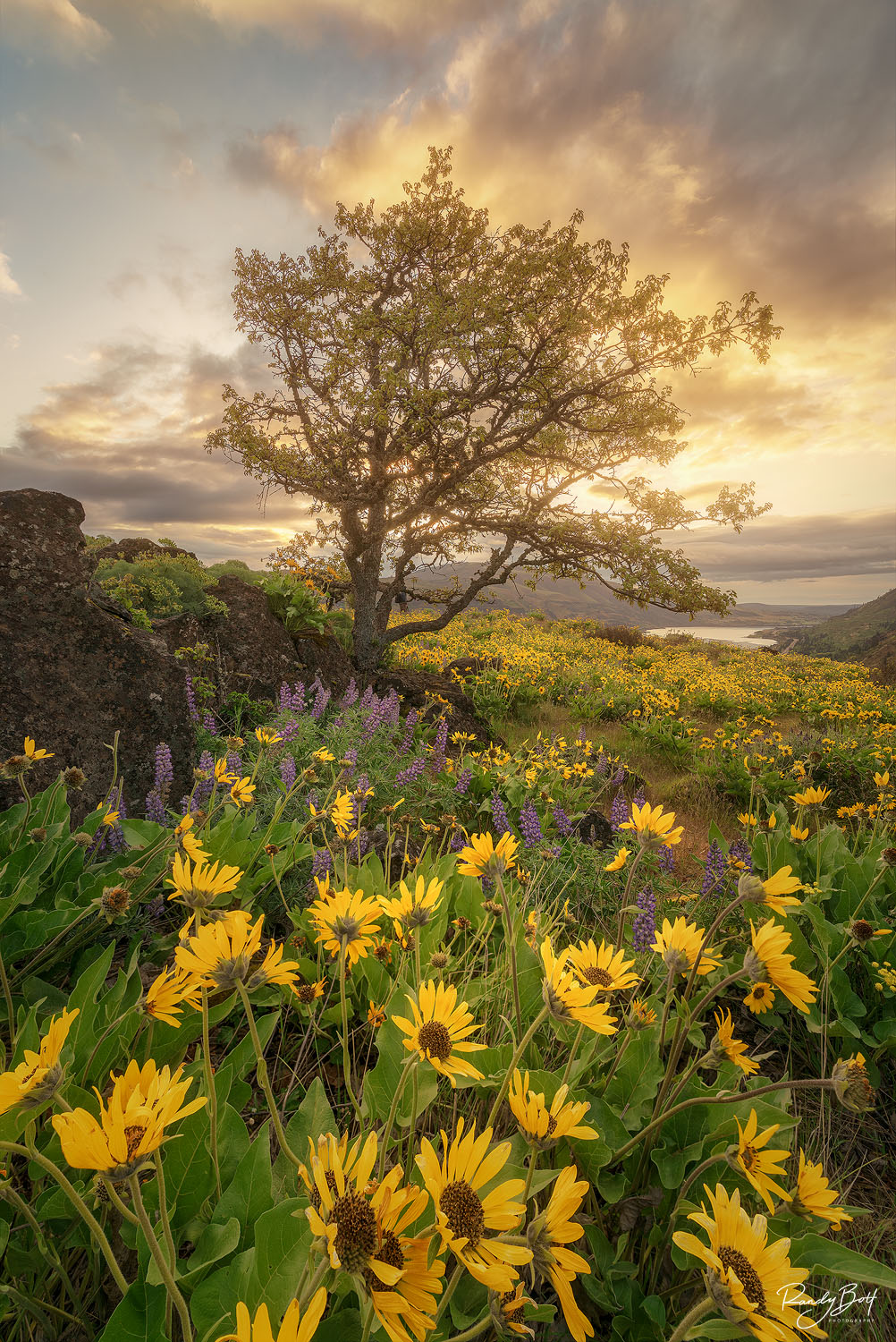 balsam root and oak tree on rowena crest during sunrise