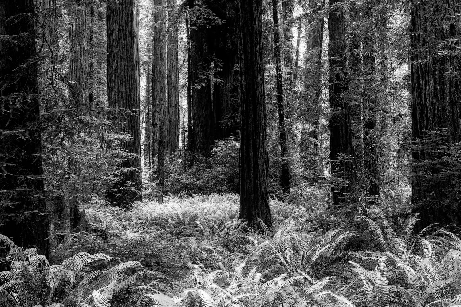 Black and white photograph of Stout Grove in Jedediah Smith State park in northern california.