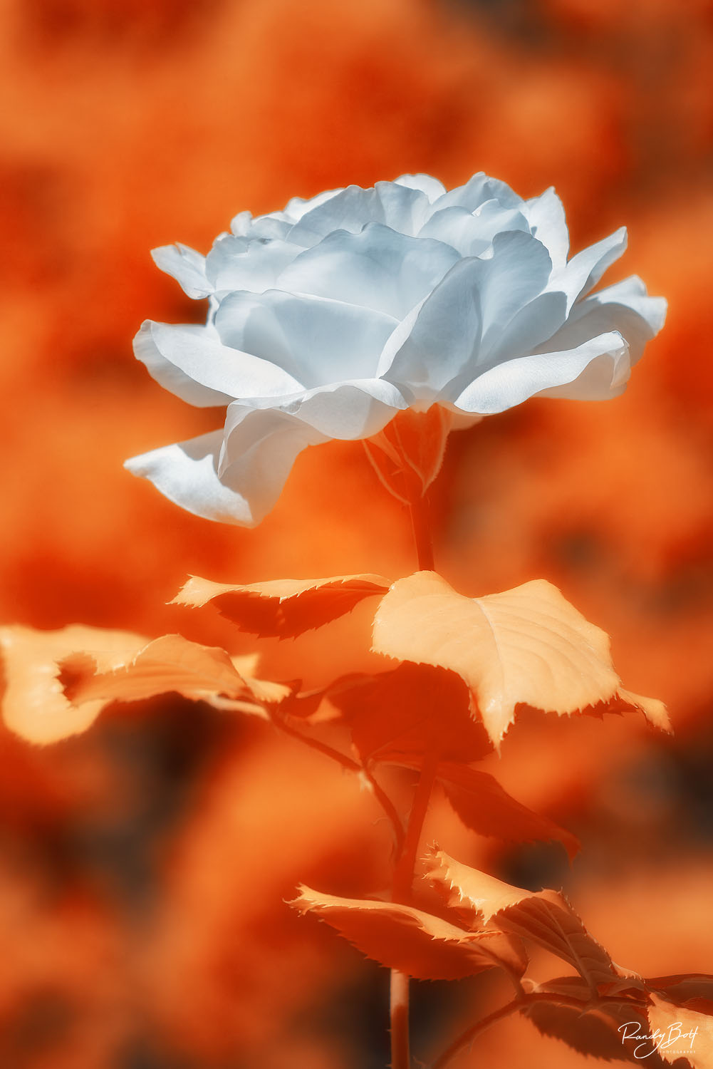 infrared image of a red rose in 590 nm from a full spectrum converted camera