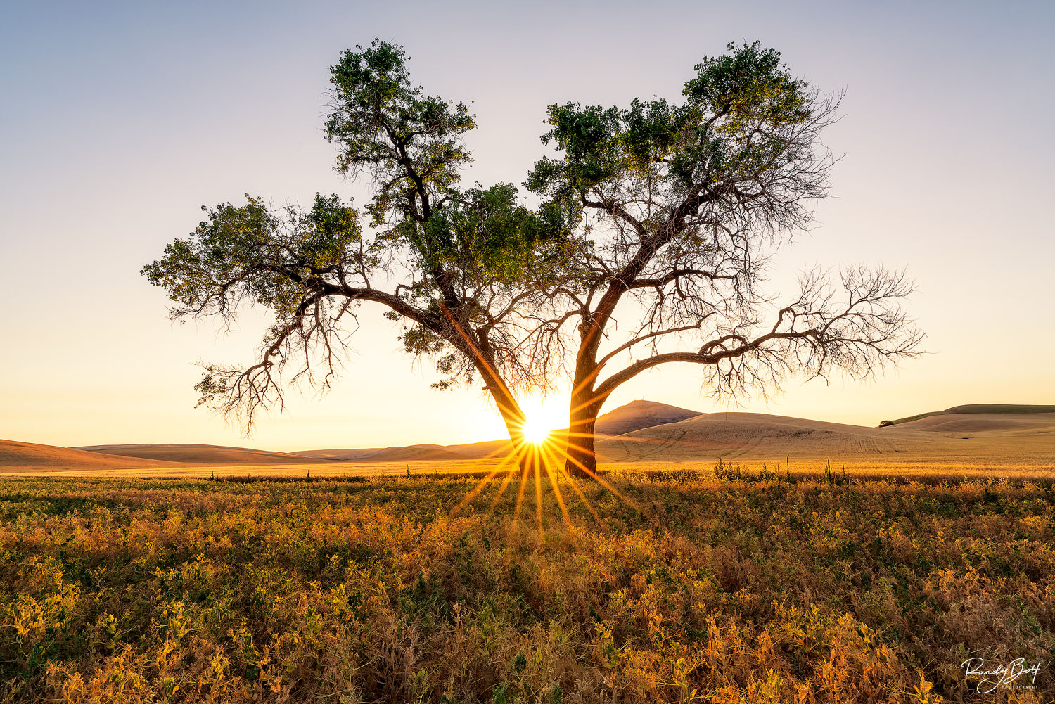 the sun creating a starburst against a tree in the Palouse next to Steptoe butte.